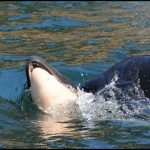 An Orca Mother Grieves: Tahlequah and her Calf