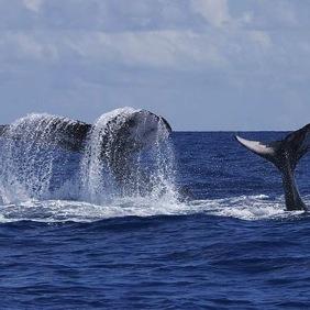 humpback-flukes-gene-flipse