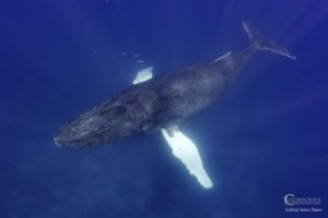 humpback_whale_from_above