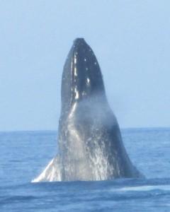 Breaching-Whale-Greta