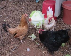 lettucechickens