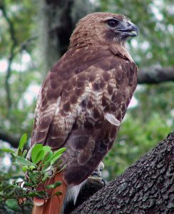 bigstock_Red_Tailed_Hawk_331112