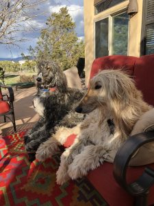 afghan-hounds