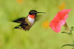 hummingbird-beauty